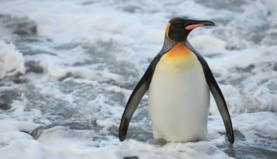 A Pingvinkirály