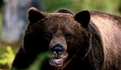 A fekete medve