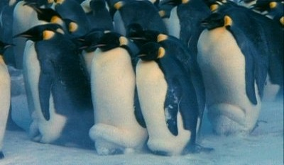Pingvin-show